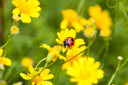 septempunctata: A ladybug and an ant Stock Photo