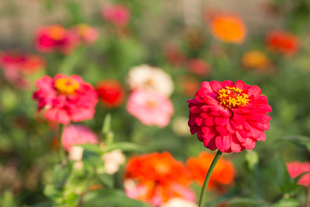 Red zinnias in full bloom Stock Photo