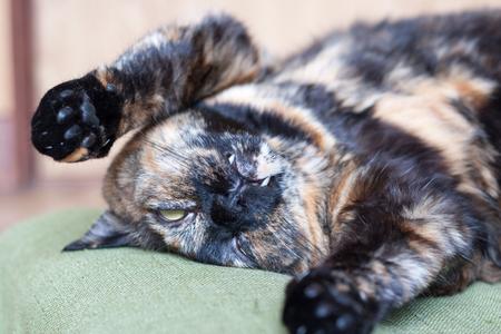 opossum: A tortoiseshell cat pretending dead