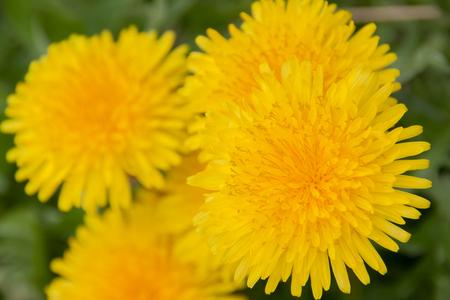 bloom: Dandelion in full bloom Stock Photo