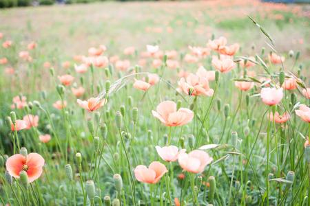 dubium: Papaver dubium in full bloom