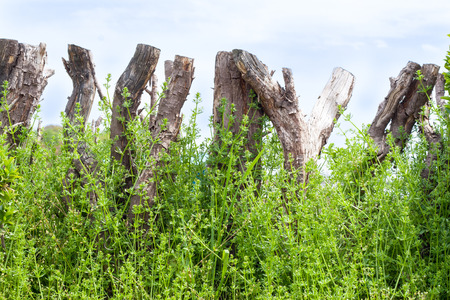 palisade: Wooden palisade tangled by weeds