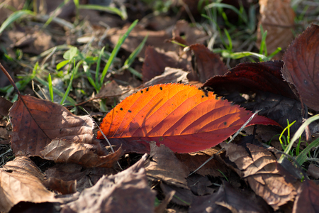 fallen leaf: Red fallen leaf on the ground Stock Photo