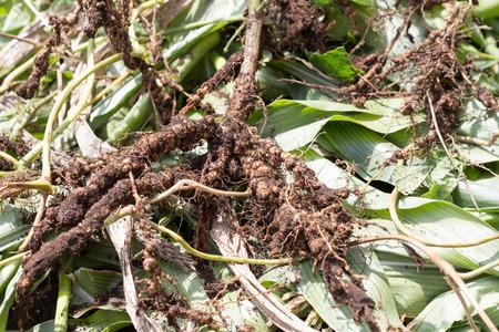 raíz de planta: Rhizobium también conocido como un fideo raíz bacterias, exteriores