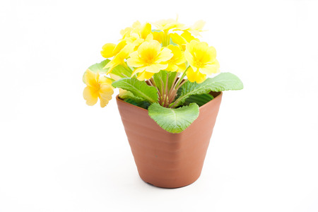 juliana: Yellow Primula juliana in a pot on white isolated background
