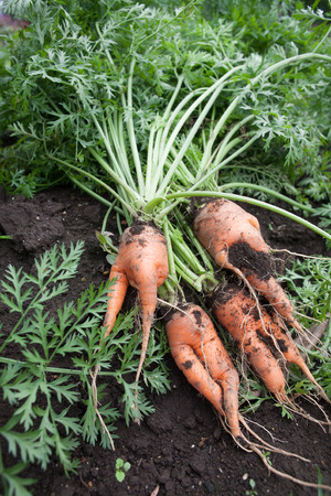 curved leg: Branched root carrot on the farm