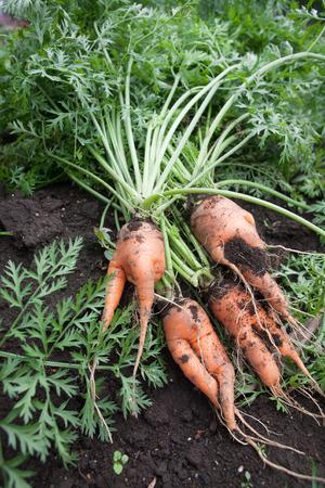 zanahoria: Ramificado zanahoria ra�z en la granja