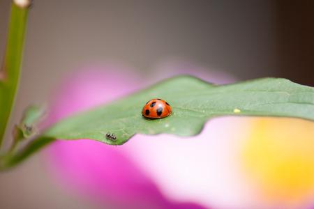 lady bug: A lady bug resting in the flower garden