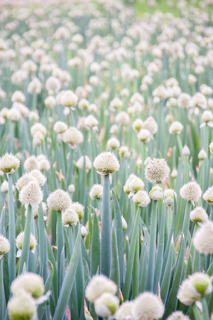 bulb and stem vegetables: Japanese long green onion puffy heads