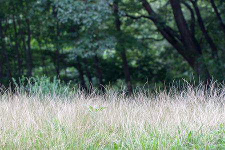 メヒシバ、イヌビエの成長としても知られている南部メヒシバ