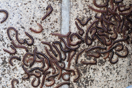 segmented bodies: Many centipedes on the concrete wall Stock Photo