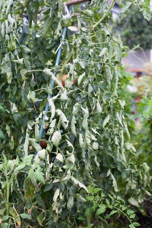 tomate de arbol: hojas rizadas en tomate de �rbol por una gran cantidad de nitr�geno en la granja