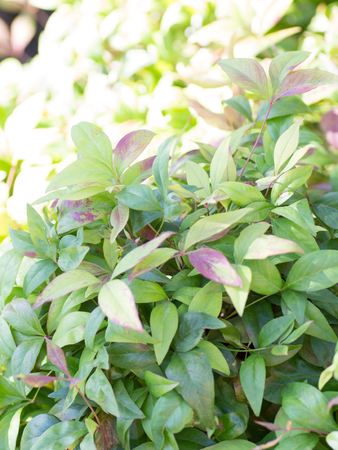 bicolored: Purple and green bicolored leaves