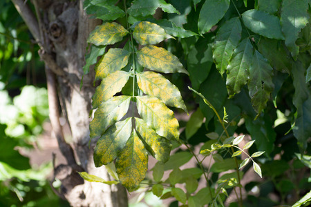 Wild green and yellow bicolored leaves