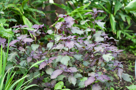 Wild Asian herb called Perilla frutescens also knonw as Shiso in Japanese  on farm Stock Photo