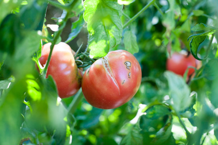 Agricultural failure, cracking on the growing tomato on farm