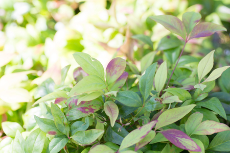 Purple and green bicolored leaves