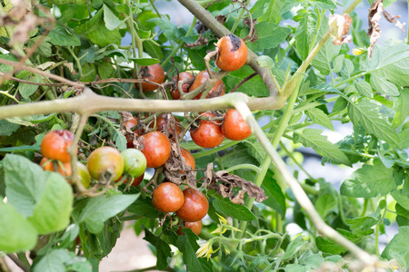 uneatable: A bunch of rotten cherry tomatoes on farm Stock Photo