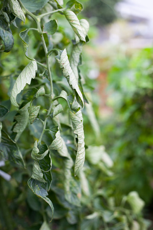 tomate de arbol: Curly leaves on tomato tree by a plethora of nitrogen on farm Foto de archivo