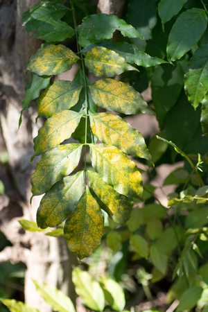 bicolored: Wild green and yellow bicolored leaves