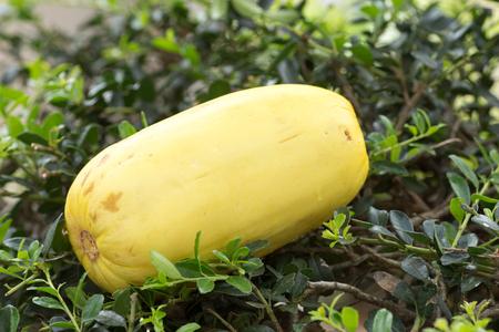 Cucumis melo var. makuwa also known as a Korean melon