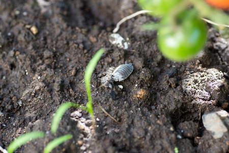 carcass: Een tante het gedroogd karkas van zeug bug te slepen Stockfoto