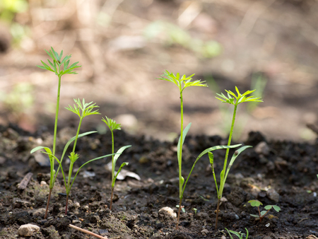 Tiny carrots just sprouting on farm