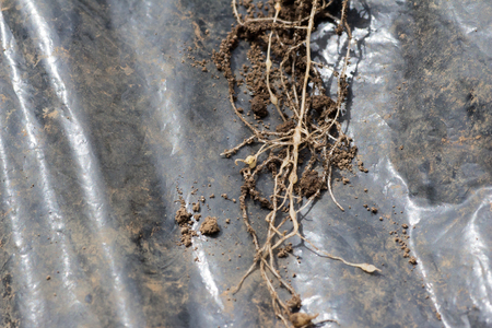 planta con raiz: Young roots invadeded by Plasmodiophora on farm