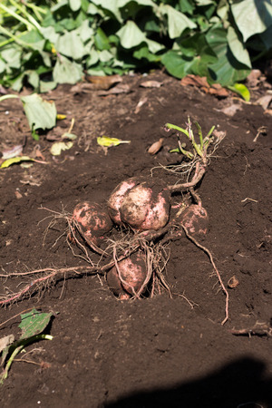 anno: Harvesting Japanese sweet potato called Anno imo on farm
