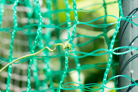 Vine of green pea on the net