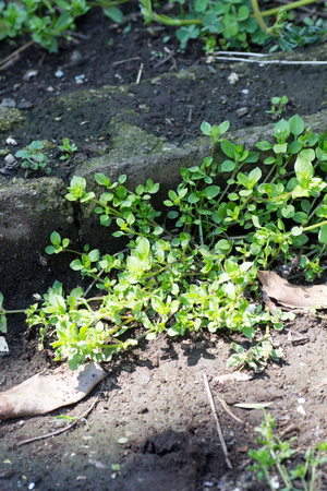 chickweed: Chickweed on street