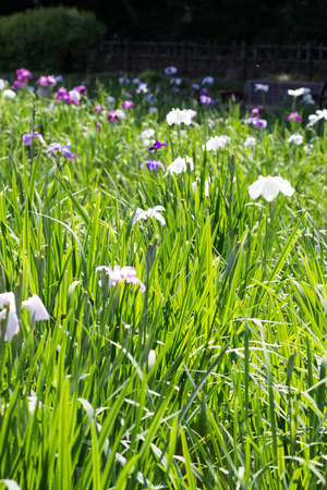 Iris in full bloom Stock Photo