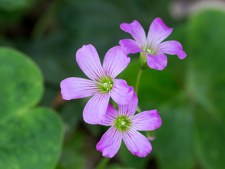 creeping woodsorrel: Oxalis corniculata also known as wood sorrel or creeping woodsorrel in full bloom
