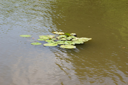 Lotus leaf on a pond Stock Photo