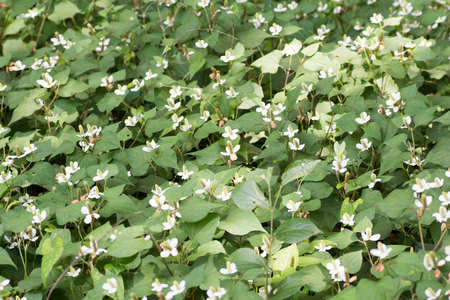 Houttuynia cordata also known as an ingredient of an Asian herb tea