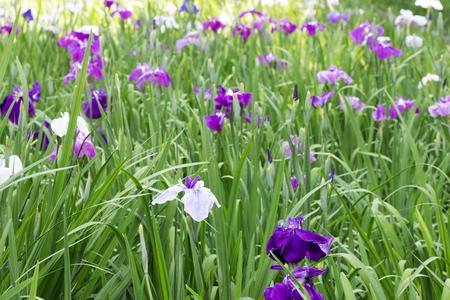 Landscape of Iris flower garden Stock Photo