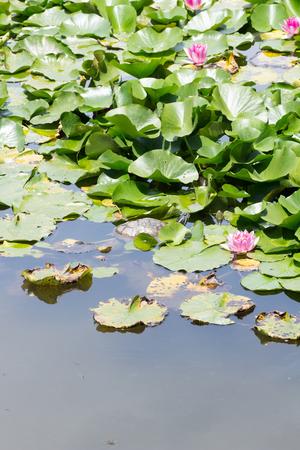 Turtle and lotus flower in Japan