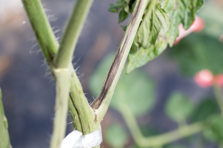 Tomato plant infected tomato spotted wilt virus also known as TSWV on farm