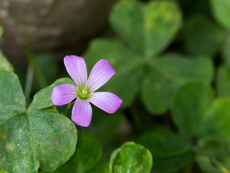 Oxalis corniculata also known as wood sorrel or creeping woodsorrel in full bloom