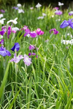 Landscape of Iris flower garden Stock Photo