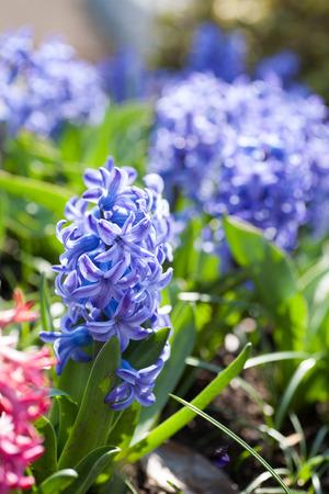 Blue Hyacinth in full bloom