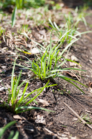 Growing Chinese chives on farm Stock Photo