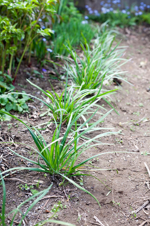Growing Chinese chive on farm ground