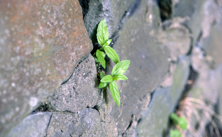 Sprout, break through the stone wall close up