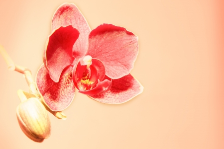 Orchid flower and bud closeup over rosy background photo