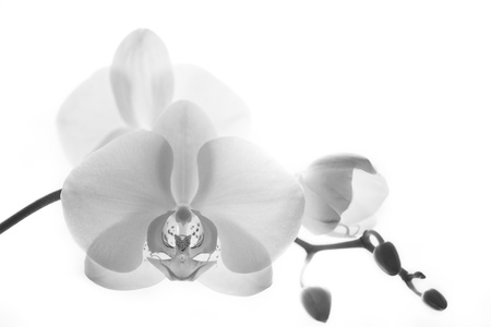 White orchid in back light, isolated, black and white image photo
