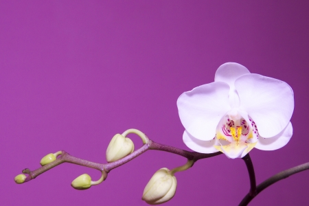 Beautiful Orchid and buds over pink background. photo
