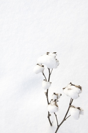 Winter scene. Snow covered agrimony over snow background. Stock Photo - 17588081