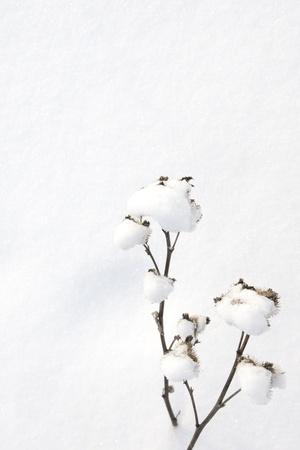 Winter scene. Snow covered agrimony over snow background. Stock Photo - 17588081
