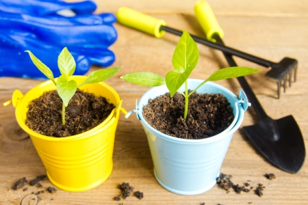 Seedlings of  on a wooden surface (background). Gardening and spring concept. photo